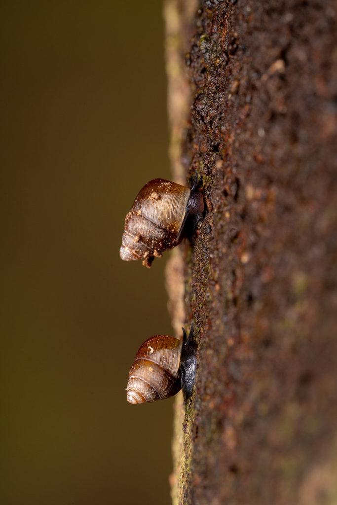 樹皮上のアズキガイの幼貝
