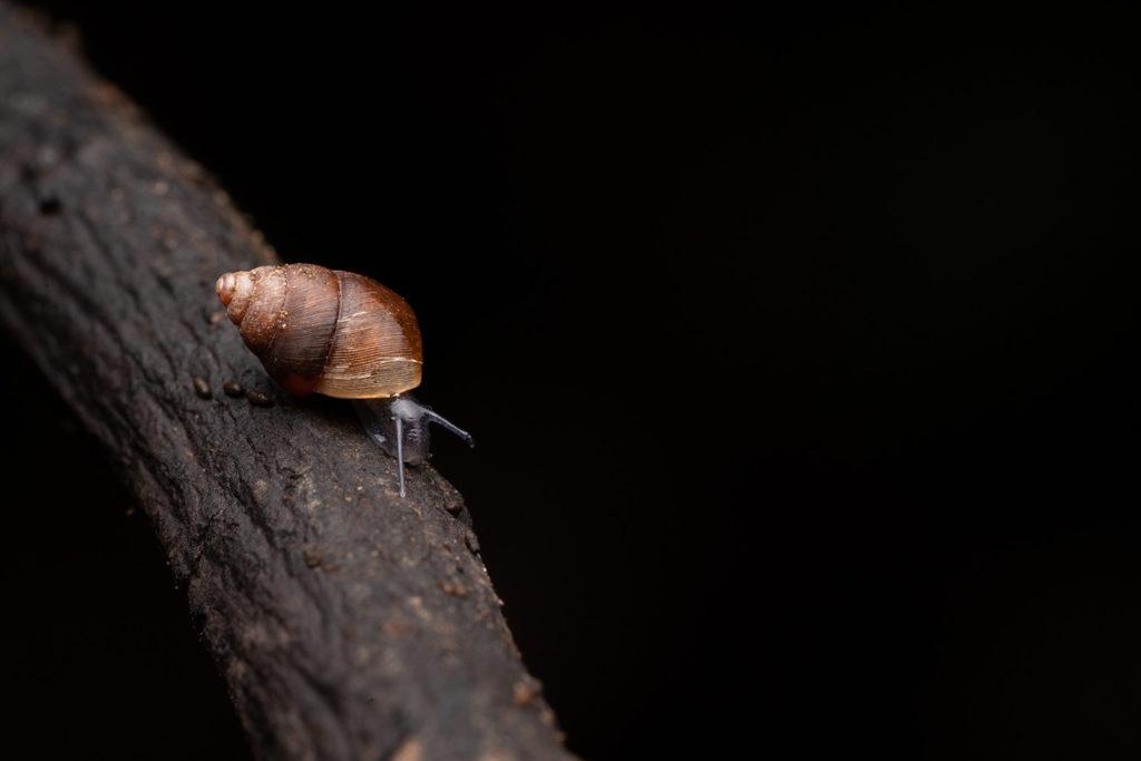 アズキガイの幼貝